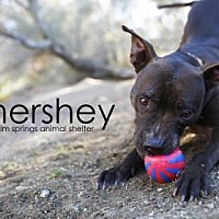 Adopt A Pet :: Hershey - Palm Springs, CA
