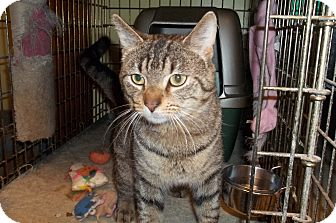 Domestic Shorthair Cat for adoption in Acme, Pennsylvania - Hopkins