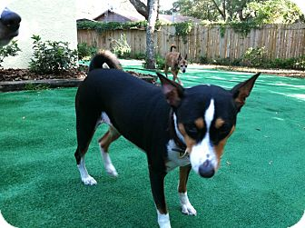 Basenji Dog for adoption in Seminole, Florida - Ada