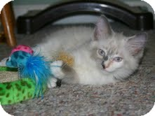 Birman Kitten for adoption in Arlington, Virginia - Phoebe