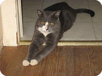 Domestic Shorthair Cat for adoption in london, Ontario - Rosco