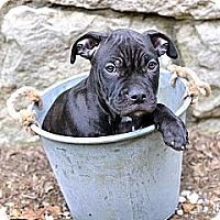 Adopt A Pet :: Gus - Des Peres, MO