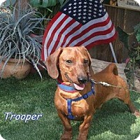 Adopt A Pet :: Trooper - Chandler, AZ