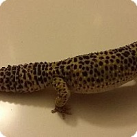 Adopt A Pet :: Leopard Gecko #1 - Lake Forest, CA