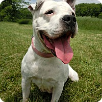 Adopt A Pet :: IVORY - New Cumberland, WV