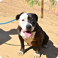 American Staffordshire Terrier/Pit Bull Terrier Mix Dog for adoption in Acton, California - Oreo