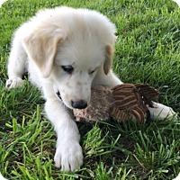 Adopt A Pet :: Bogey - Tulsa, OK