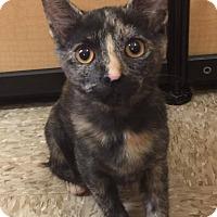 Adopt A Pet :: Brindle - Apex, NC