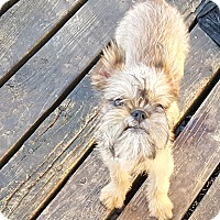 Brussels Griffon Puppy for adoption in Antioch, Illinois - Grant