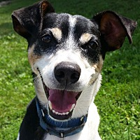 Rat Terrier Mix Dog for adoption in Grayslake, Illinois - Spike Little