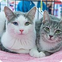Adopt A Pet :: Blondie - Merrifield, VA