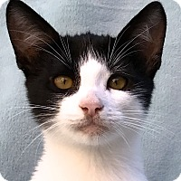 Domestic Shorthair Kitten for adoption in La Jolla, California - Bogart