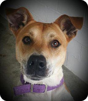 Boxer/Labrador Retriever Mix Dog for adoption in Paducah, Kentucky - Jasper