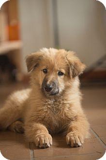 Australian Shepherd/Australian Cattle Dog Mix Puppy for adoption in Grand Canyon Village, Arizona - Zephee