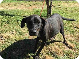 Labrador Retriever Dog for adoption in Rosenberg, Texas - A009596