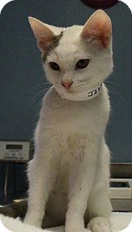 Domestic Shorthair Kitten for adoption in Tomball, Texas - Jasper