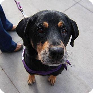 Rottweiler Mix Dog for adoption in Littleton, Colorado - Summer