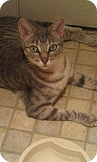 Domestic Shorthair Cat for adoption in St. Louis, Missouri - Patty