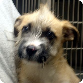Cairn Terrier Mix Puppy for adoption in baltimore, Maryland - Hiram
