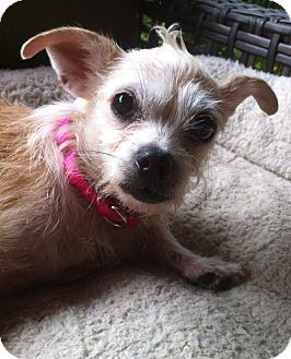Chihuahua/Wirehaired Fox Terrier Mix Dog for adoption in ...