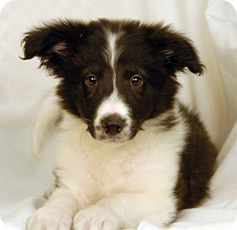 border collie jack russell terrier mix ollie adopted puppy newland nc border collie jack 6762