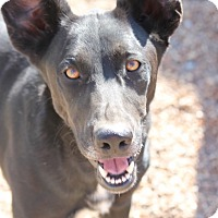 Labrador Retriever/Shepherd (Unknown Type) Mix Dog for adoption in Cranston, Rhode Island - Buckeye Ben