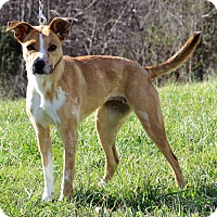 Whippet Mix Dog for adoption in Waldorf, Maryland - Toffee