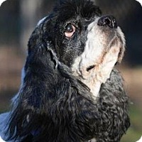 Cocker Spaniel Dog for adoption in Austin, Texas - Sherri