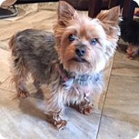 Adopt A Pet :: Sophia Marie - N. Babylon, NY