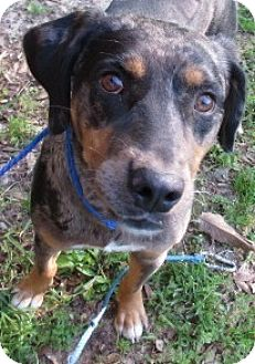 Catahoula Leopard Dog Mix Dog for adoption in Bay Springs, Mississippi - S926 Tango