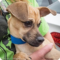 Adopt A Pet :: Briley - Loudonville, NY