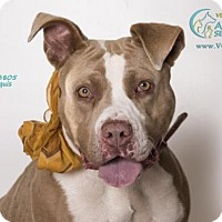 Pit Bull Terrier Dog for adoption in Camarillo, California - *CHICA
