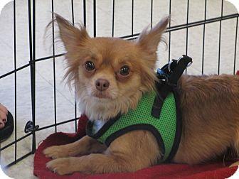 Chihuahua Mix Dog for adoption in Gilbert, Arizona - Lacee