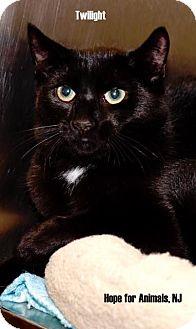Domestic Shorthair Kitten for adoption in Marlboro, New Jersey - Twilight
