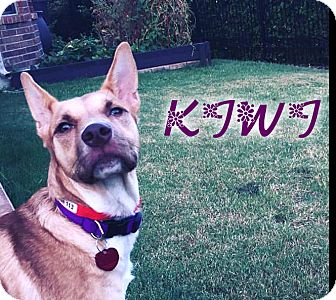 Carolina Dog Mix Dog for adoption in Cranston, Rhode Island - Kiwi (fostered in Dallas TX)