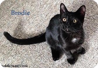 Domestic Shorthair Kitten for adoption in Huntsville, Ontario - Brodie - Cutie Pie!