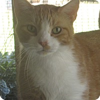 Domestic Shorthair Cat for adoption in Jackson, Missouri - EJ