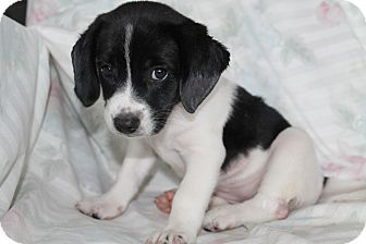 Australian Shepherd/Beagle Mix Puppy for adoption in Burlington, Vermont - Echo (adopted)