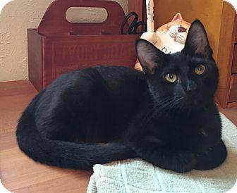 Domestic Shorthair Kitten for adoption in Flower Mound, Texas - Abra