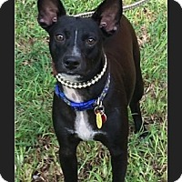 Adopt A Pet :: Freddie - hollywood, FL