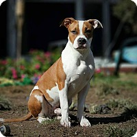 Pit Bull Terrier Mix Puppy for adoption in Bergen County, New Jersey - Bentley