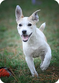 Parson Russell Terrier/Labrador Retriever Mix Puppy for adoption in Manchester, Vermont - Inga