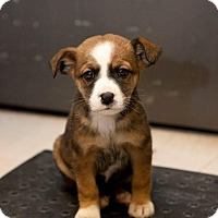 Cattle Dog/Catahoula Leopard Dog Mix Puppy for adoption in Englewood, Colorado - Dakota