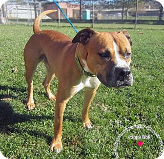 Boxer Mix Dog for adoption in Sidney, Ohio - Eddy