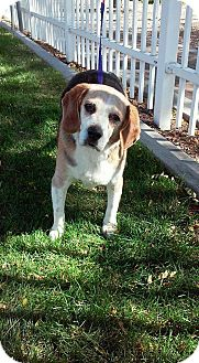 Beagle Dog for adoption in corinne, Utah - Duke
