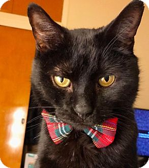 Domestic Shorthair Cat for adoption in New York, New York - Jake