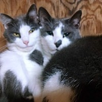 Domestic Shorthair Cat for adoption in Belvidere, New Jersey - Paul