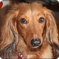 Adopt A Pet :: Bailey - Louisville, CO