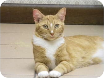 Domestic Shorthair Cat for adoption in Naples, Florida - Clementine