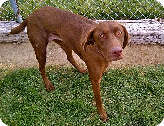 Lab German Shorthaired Pointer German Shorthaired Lab The German   Dog ...